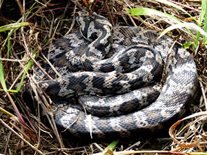 Carpet-snake